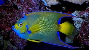 Queen Angelfish Exotic Marine Fish Wallpaper Hd For Laptop ...