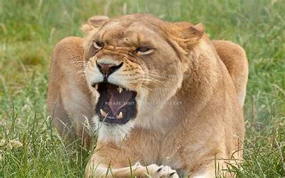 Lioness Angry Lion Animal Female Roar Wallpapers