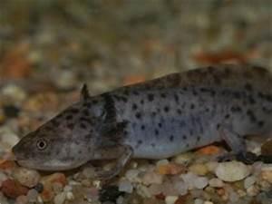 Aquarium Bodengrund Berechnen : axolotl ein ungew hnliches haustier die ~ Themetempest.com Abrechnung