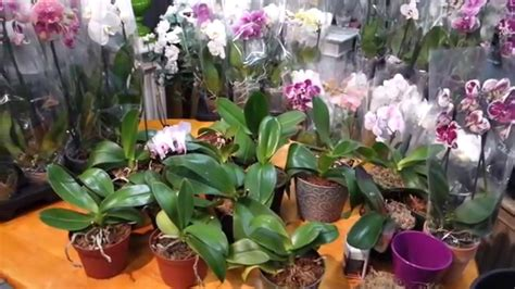how to make orchids bloom again will your phalaenopsis orchid bloom again experiment youtube