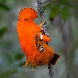 Guianan cock-of-the-rock - Wikipedia