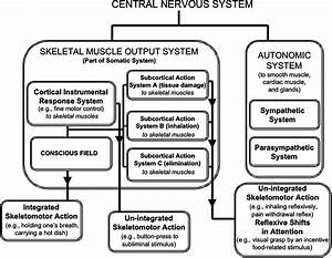Concept Map Nervous System Answers.Images Of Nervous System Concept Map Answers Biology Corner Golfclub