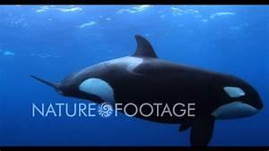 Orca Killer Whale 4k Video - Watch In 4k