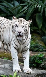 Singapore Zoo's white tiger dies: 5 things about Omar and ...