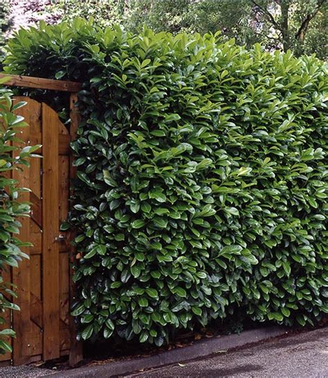Pflanzzeit Kirschlorbeer Hecke by Kirschlorbeer Hecke 40 60 Cm Hoch 1a Pflanzen Baldur