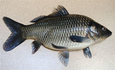 mewarnai gambar ikan nila