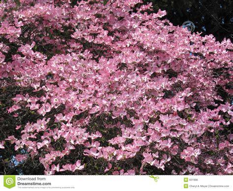japanischer hartriegel baum rosafarbener hartriegel baum stockfoto bild wachstum