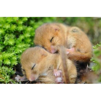 House a Dormouse photo gallery - Peoples Trust for