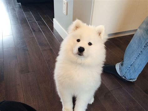 Do Samoyeds Shed All Year by Trending 15 Dogs That Look Like Teddy Bears The Viral