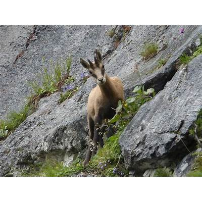 Free photo: Chamois Mountains Alpine - Image on