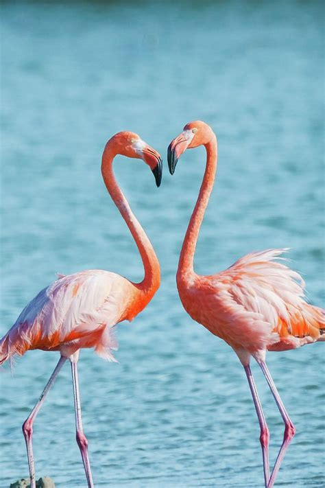 flamingos  love heart love wildlife photography