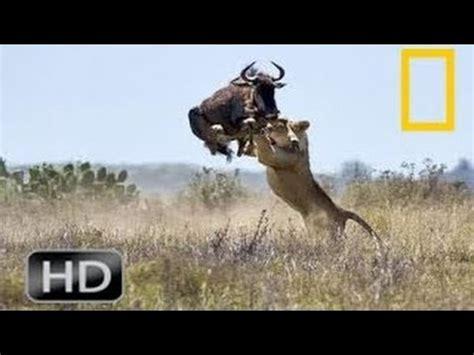 National Geographic Wild 2015 Lion Battle Attacks Animal