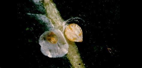 http://www.agraria.org/entomologia-agraria/cocciniglia-bianca-agrumi.htm