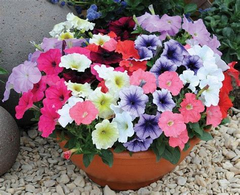 plant petunias 17 best ideas about petunia plant on pinterest indoor pots and planters eclectic indoor