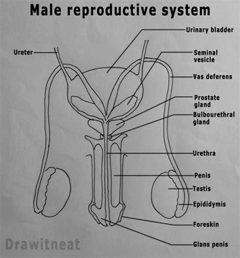 reproductive system ideas  pinterest