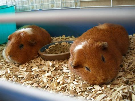 Aspen Bedding For Guinea Pigs by Cedar Chips And Pine Wood Shavings Bedding For Pets