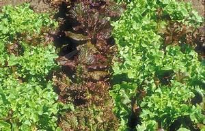 Salat Pflanzen Abstand : salat schnittsalat lactuca sativa var crispa alle ~ Markanthonyermac.com Haus und Dekorationen
