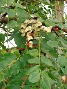 Sandalwood Tree Seeds | www.imgkid.com - The Image Kid Has It!