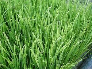Rice Planting Diary