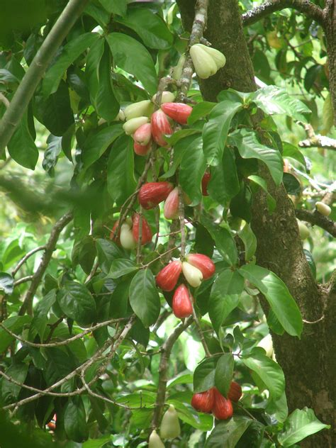 polynesian produce stand red mountain apple fruit tree