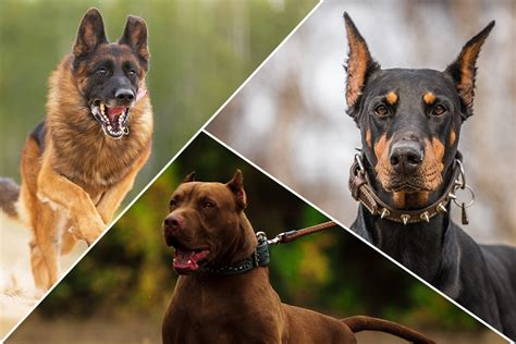 best guard dogs breeds that make the best guard dogs