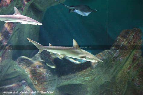 photo requin aquarium de la rochelle photo vend 233 e