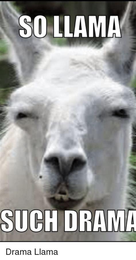 Llama Memes - 25 best memes about drama llama drama llama memes
