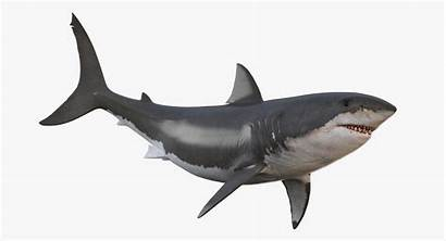Shark Animated Animation Animals Aquatics Missset Turbosquid
