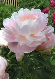 Langage Des Fleurs Pivoine : peony mrs franklin d roosevelt 1932 the rich fragrance and rose like form of mrs ~ Melissatoandfro.com Idées de Décoration