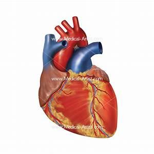 Heart Medical Illustrations