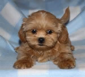 Brown Teddy Bear Puppies