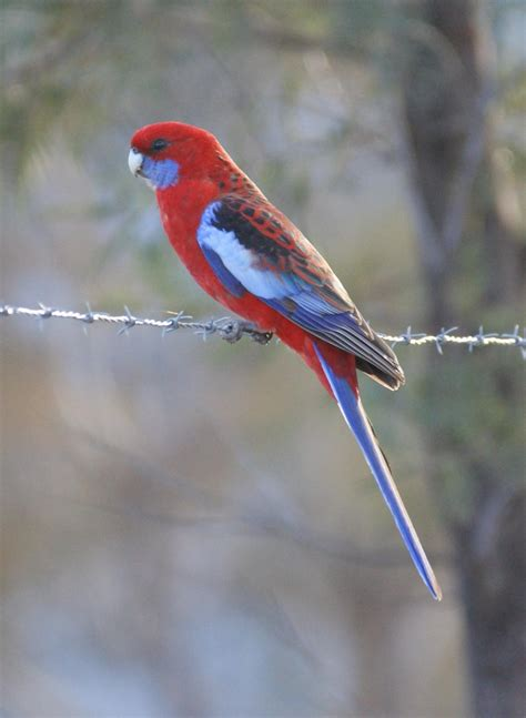 crimson rosella  zealand birds