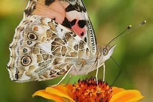 Was Machen Schmetterlinge Im Winter : wanderfalter im herbst beobachten nabu ~ Lizthompson.info Haus und Dekorationen