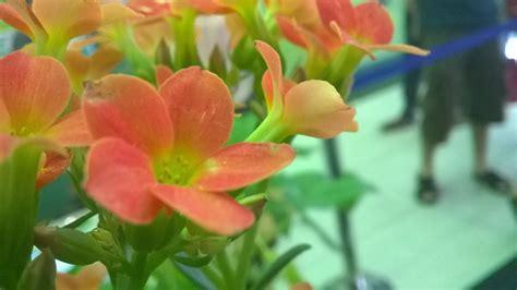 กุหลาบหิน (Kalanchoe blossfeldiana Poellnitz.) | ดอกไม้