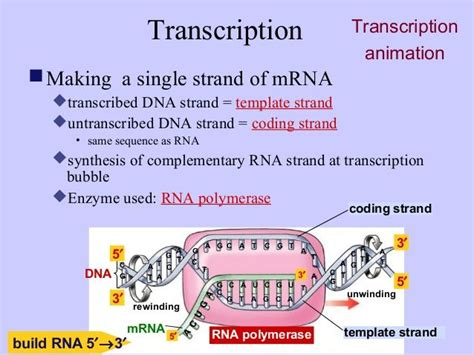 template vs coding strand 17 best images about education on signal transduction study tips and axial skeleton