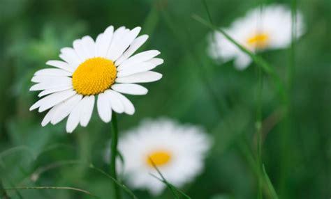margherite fiori significato dei fiori margherita il fiore dell leitv