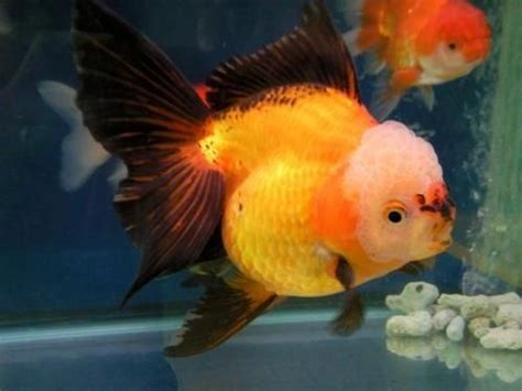 pretty black  gold oranda aquarium fish goldfish