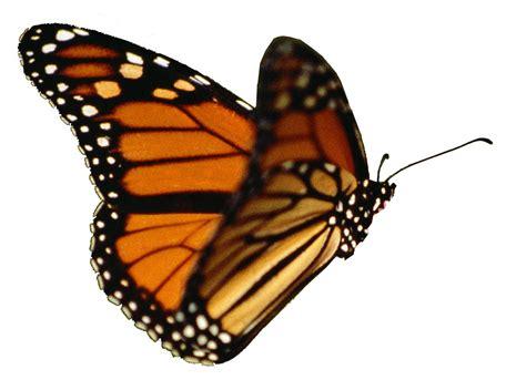 monarch butterfly   effect