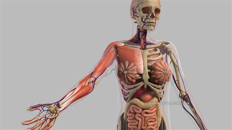 Human-anatomy-animation-simon-til-medical-projects-3d