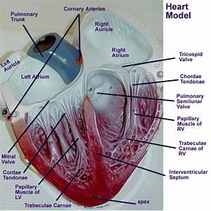 Heart : Gross Anatomy