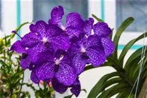 Orchidee Vanda Pflege : vanda orchidee vermehren so wird 39 s gemacht ~ Lizthompson.info Haus und Dekorationen