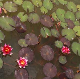 tanaman teratai rubra merah bibitbungacom