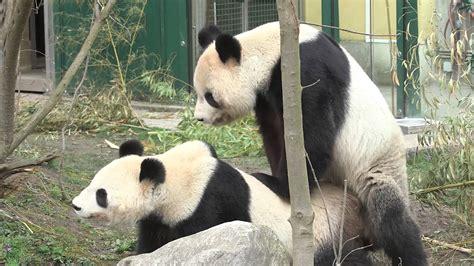 pandas mate mating captivity zoo europe giant vienna