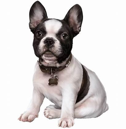 Bulldog French Transparent Clip Clipart Clipartkey