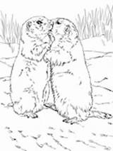 Prairie Dog Coloring Dogs Kissing Printable Pages sketch template