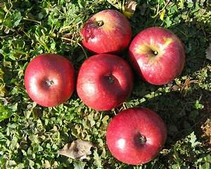 Lady Williams (apple) - Wikipedia
