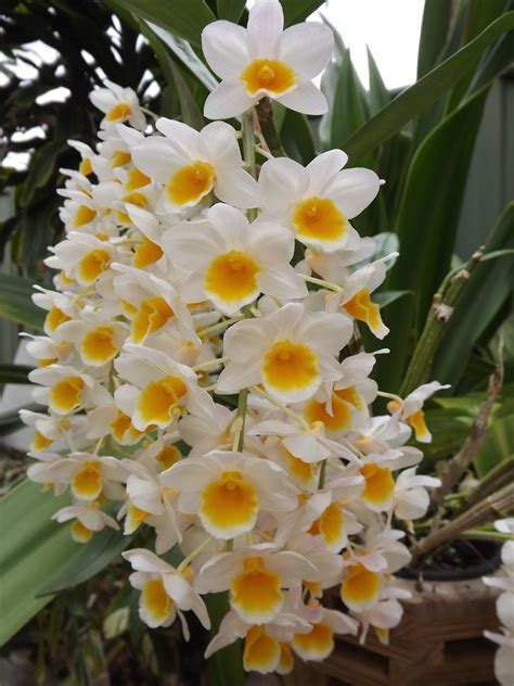 flower spike orchid my orchids journal dendrobium thrysiflorum in bloom