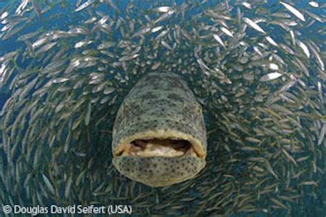 grouper goliath giant species photographer wildlife ocean seifert douglas david tornado jewfish groupers largest mero fishing 2008 human feeding nature