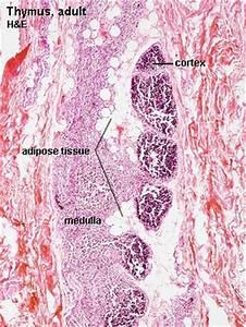 Thymus Development - Embryology