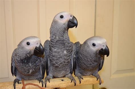 african grey congo parrot 128557 for sale in lincolnton nc